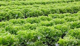Campo enorme di lattuga verde di estate Immagini Stock Libere da Diritti