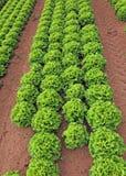 Campo enorme di lattuga verde di estate Fotografia Stock