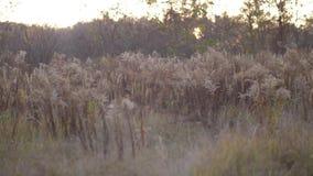 Campo entre la reunión de dos ríos La gente con diversas máscaras salta de la alta hierba amarilla Máscaras de un mono, de un tig almacen de video