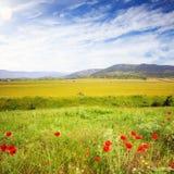 Campo escénico del verano con la hierba verde y las amapolas rojas en la parte posterior Imagen de archivo