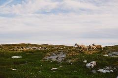 Campo escandinavo con las ovejas Imágenes de archivo libres de regalías