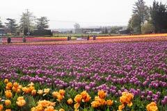 Campo extenso de los tulipanes coloreados multi de la primavera en la plena floración Imagen de archivo libre de regalías