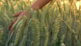 Campo fêmea novo do sentimento da mão das meninas da mulher adulta de raça misturada da colheita da cevada no por do sol ou no na filme