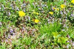 Campo fantastico con i fiori gialli freschi dei denti di leone fotografia stock libera da diritti