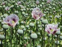 Campo farmacêutico da papoila de ópio, Tasmânia, Austrália Fotografia de Stock Royalty Free