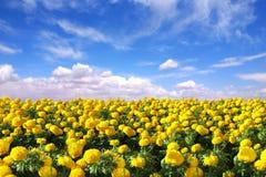 Campo felice luminoso dei fiori del tagete Immagini Stock Libere da Diritti