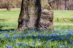 Campo fertile dei fiori di campanula davanti all'albero Fotografia Stock Libera da Diritti