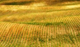 Campo file dei raccolti agricoli germogliati campo collinoso pittoresco Campo agricolo in primavera Immagine Stock
