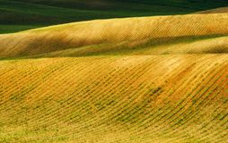 Campo file dei raccolti agricoli germogliati campo collinoso pittoresco Campo agricolo in primavera Fotografie Stock Libere da Diritti