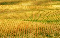 Campo file dei raccolti agricoli germogliati campo collinoso pittoresco Campo agricolo in primavera Fotografie Stock