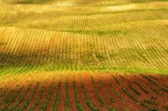 Campo file dei raccolti agricoli germogliati campo collinoso pittoresco Campo agricolo in primavera Fotografia Stock Libera da Diritti