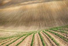 Campo file dei raccolti agricoli germogliati campo collinoso pittoresco Campo agricolo in primavera Fotografia Stock