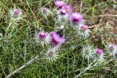 Campo in fiori del cardo selvatico Fotografie Stock Libere da Diritti