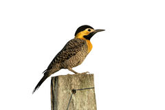 Campo flicker, Colaptes campestris Royalty Free Stock Image