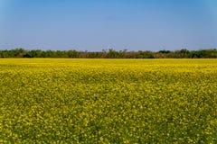 Campo floreciente amarillo brillante hermoso de las plantas del Canola Fotografía de archivo libre de regalías