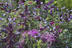 Campo floreciente con el amaranto Imagenes de archivo