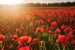 Campo floreciente de amapolas rojas en los rayos de la puesta del sol Fotografía de archivo libre de regalías