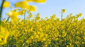 Campo floreciente de Canola Violación en el campo en primer del verano almacen de video