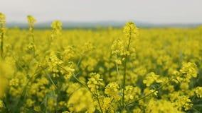 Campo floreciente de Canola Violación en el campo en verano Aceite de rabina amarillo brillante Rabina floreciente almacen de metraje de vídeo