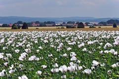 Campo floreciente de la amapola con las flores blancas y pueblo con la iglesia Imagen de archivo libre de regalías
