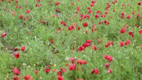 Campo floreciente de la amapola después de la lluvia almacen de video
