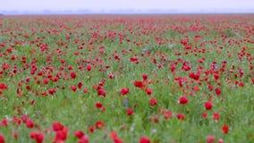 Campo floreciente de la amapola después de la lluvia metrajes