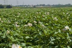Campo floreciente de la patata Fotografía de archivo