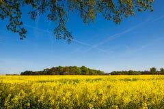 Campo floreciente de la rabina amarilla Imagenes de archivo