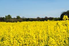 Campo floreciente de la rabina amarilla Imagen de archivo libre de regalías