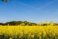 Campo floreciente de la rabina amarilla Fotografía de archivo libre de regalías