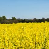 Campo floreciente de la rabina amarilla Imagen de archivo
