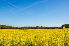 Campo floreciente de la rabina amarilla Foto de archivo