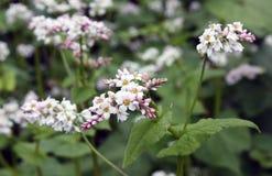 Campo floreciente del alforfón Imagen de archivo