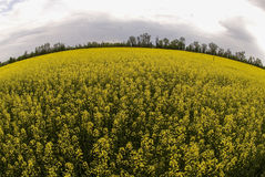 Campo floreciente del alforfón Foto de archivo
