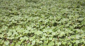 Campo floreciente del algodón Fotografía de archivo