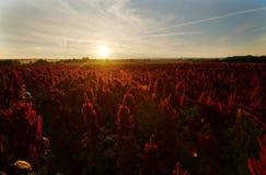 Campo floreciente del amaranto foto de archivo