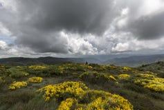 Campo floreciente del Genista con el cielo dramático Fotografía de archivo