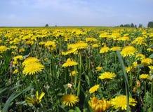 Campo floreciente del verde de diente de león Imagen de archivo