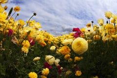Campo floreciente en la salida del sol Foto de archivo