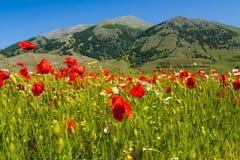 Campo florido con las amapolas en valle verde imagenes de archivo