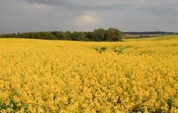 Campo flourishing da violação amarela. Fotos de Stock
