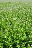 Campo Flourishing di grano saraceno Immagine Stock