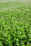 Campo Flourishing do trigo mourisco Imagem de Stock