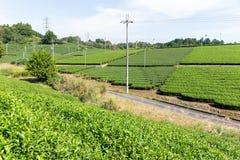 Campo fresco del tè verde Fotografie Stock Libere da Diritti