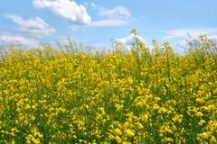 Campo giallo Immagini Stock
