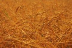 Campo giallo con grano Fotografia Stock Libera da Diritti