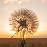 Campo giallo con grano contro il tramonto immagine stock libera da diritti