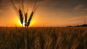 Campo giallo con grano contro il tramonto Immagine Stock