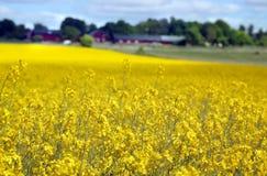 Campo giallo con la colza Fotografia Stock Libera da Diritti