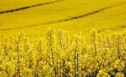 Campo giallo con la violenza del seme oleaginoso in sorgente in anticipo Fotografia Stock